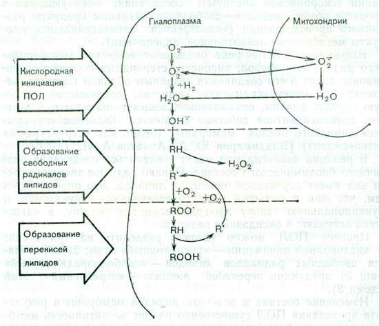 Схема. Этапы перекисного