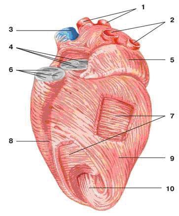 Мышечный слой сердца