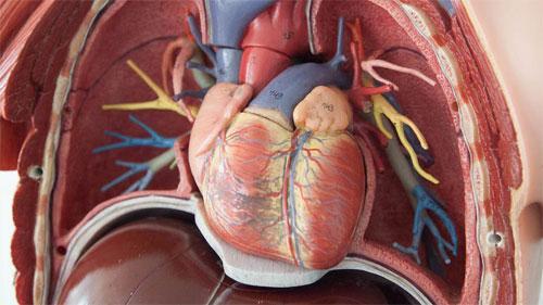 Что такое физиология сердца?