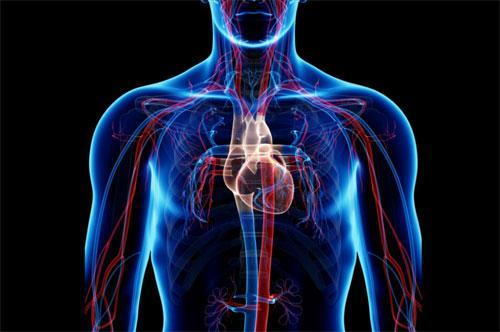 Что такое система кровообращения?