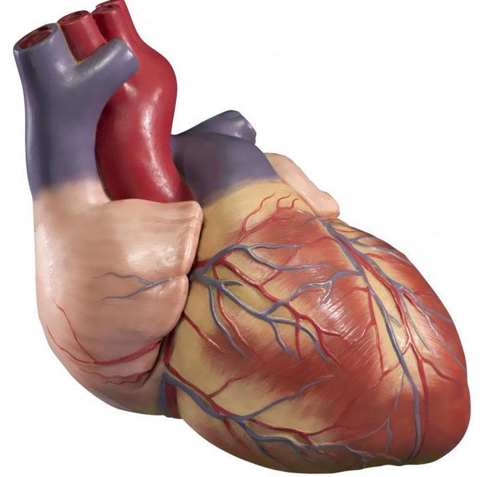 Особенности сердечных мышц